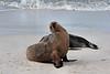Beginning to stretch.<br /> <br /> Sea lions.<br /> Gardner Bay, Isla Espanola,<br /> Galapagos Islands.