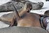 Pup trying to nurse.<br /> <br /> Gardner Bay, Isla Espanola,<br /> Galapagos Islands.