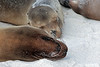 Siesta time.<br /> <br /> Sea lions.<br /> Gardner Bay, Isla Espanola,<br /> Galapagos Islands.