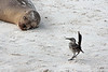 Something ruffled the feathers of this Hood mockingbird.<br /> <br /> Gardner Bay, Isla Espanola,<br /> Galapagos Islands.