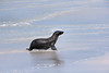 A pup coming back from a swim.<br /> <br /> Gardner Bay, Isla Espanola,<br /> Galapagos Islands.