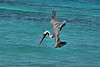 Brown pelican fishing in Gardner Bay.<br /> <br /> Gardner Bay, Isla Espanola,<br /> Galapagos Islands.
