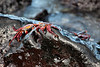 The most common crabs I saw in the Galapagos - Sally Lightfoot