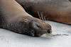 Doing what sea lions do best...sleep.<br /> <br /> Gardner Bay, Isla Espanola,<br /> Galapagos Islands.