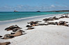 This entire stretch of beach was filled with sleeping, resting, nursing sea lions.<br /> <br /> Gardner Bay, Isla Espanola,<br /> Galapagos Islands.