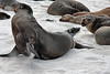 A rare display of activity among the adult sea lions.<br /> <br /> Gardner Bay, Isla Espanola,<br /> Galapagos Islands.