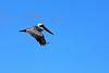 Brown pelican.<br /> <br /> Gardner Bay, Isla Espanola,<br /> Galapagos Islands.