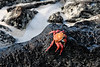 Sally Lightfoot crabs.<br /> <br /> Gardner Bay, Isla Espanola,<br /> Galapagos Islands.