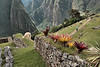 Machu Picchu #31<br /> <br /> Bromeliads and llama and so much more.