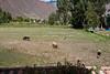 Pasture to the east of the posade.<br /> <br /> Sonesta Posada del Inca, Yucay, Peru<br /> 2009