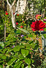 Zadar, Croatia (Old Town)<br /> Roses in a jungle of a garden.