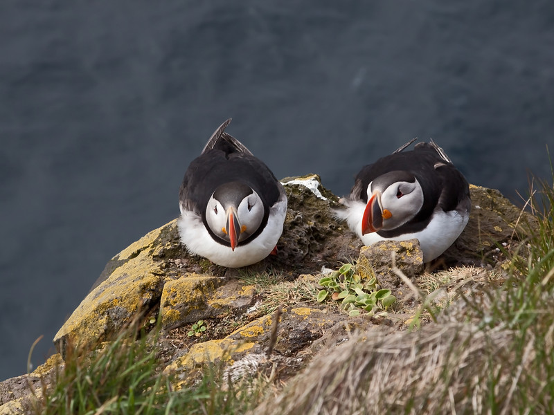 Peaceful pair of puffins posing