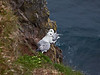 I believe these are fulmars, but I'm not 100% sure.   If so, they are the Northern fulmar, Fulmarus glacialis.  <br /> <br /> Látrabjarg bird cliffs, Westfjords, Iceland. <br /> June 18, 2010