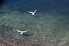 Gulls in flight<br /> <br /> Arnarstapi, Snæfellsnes Peninsula.<br /> <br /> June 16, 2010