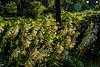 D247-2016 White hosta blooms in heavy dew<br /> <br /> County Farm Park, Washtenaw County, Ann Arbor<br /> Taken September 4, 2016