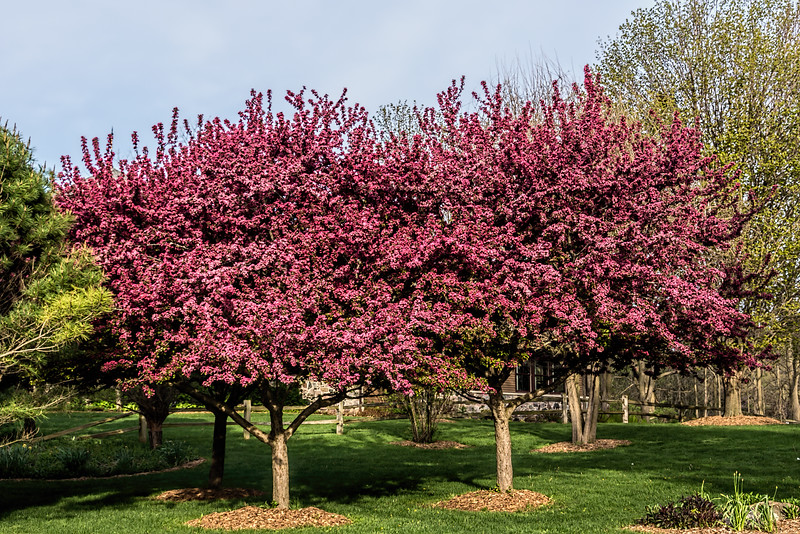 Crab apple trees at the County Farm Park