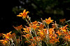 Day lilies 11.<br /> July 7, 2011<br /> <br /> Genus Hemerocallis<br /> Family: Xanthorrhoeaceae