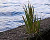 Taking a chance - grass and dandelion occupying a crack in the concrete breakwater.<br /> <br /> Crooked Lake, Michigan<br /> September, 2011