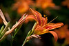 Day lilies 20.<br /> July 7, 2011<br /> <br /> Genus Hemerocallis<br /> Family: 	Xanthorrhoeaceae