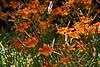 Day lilies 14.<br /> July 7, 2011<br /> <br /> Genus Hemerocallis<br /> Family: Xanthorrhoeaceae