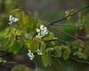 D109-2012 Serviceberry in bloom down by the lake.<br /> <br /> Crooked Lake<br /> April 19, 2012<br /> (nex5n)