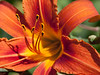 Day lilies 05.<br /> July 7, 2011<br /> <br /> Genus Hemerocallis<br /> Family: 	Xanthorrhoeaceae