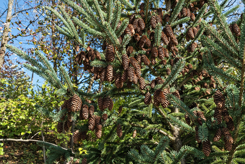 Evergreen with cones, close up