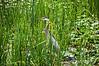 Fishing.<br /> Great Blue Heron.<br /> <br /> Wildwing Lake, Nature Center, Kensington Metropark, Michigan<br /> July 6, 2013