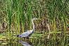 Heron fishing #3