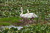 D190-2013 Empty nesters<br /> <br /> Mute swans on a nest with no sign of eggs or cygnets.<br /> Wildwing Pond near the Nature Center<br /> Kensington Metropark, Michigan<br /> Taken July 6, 2013