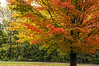 Sugar maple, making sweet a rainy autumn day
