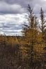 D314-2013  Tamaracks in autumn<br /> <br /> Mill Lake, Waterloo Recreation Area, Washtenaw County, Michigan<br /> November 10, 2013