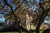 University Museum of Art seen through crabapple limbs and blossoms