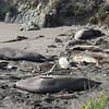 21 01-01 Elephant seals 9346