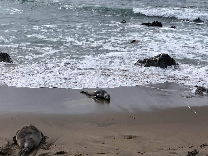 21 01-01 Elephant seals 2790