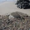 21 01-01 Elephant seals 9339