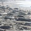 21 01-01 Elephant seals 9349