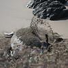 21 01-01 Elephant seals 9337