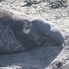 21 01-01 Elephant seals 9351