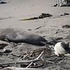 21 01-01 Elephant seals 9342