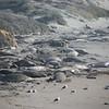 21 01-01 Elephant seals 9330