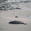21 01-01 Elephant seals 9332