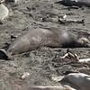 21 01-01 Elephant seals 9331