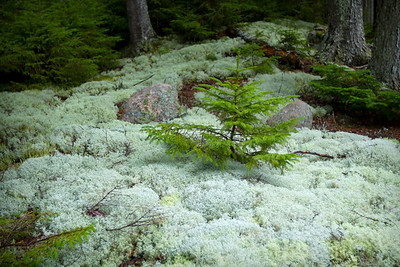 A baby tree grows among moss on the side of Park Loop Road.