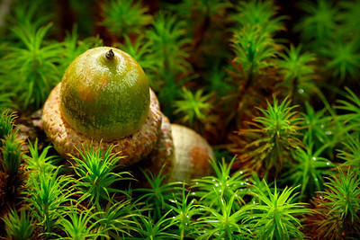 Acorns on the forest floor after a morning rainfall.