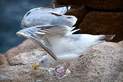A seagull prepares for flight from the rocky coastline.