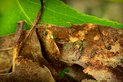 A camouflage bug on a leaf nearly avoids detection near Beaver Dam Pond.