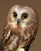 ADK-PhotoContest-2005-Saw-whet-Owl-printed_8x10_ReHab-2632