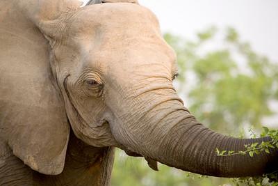 African elephant (Loxodonta africana) South Luangwa National Park, Zambia