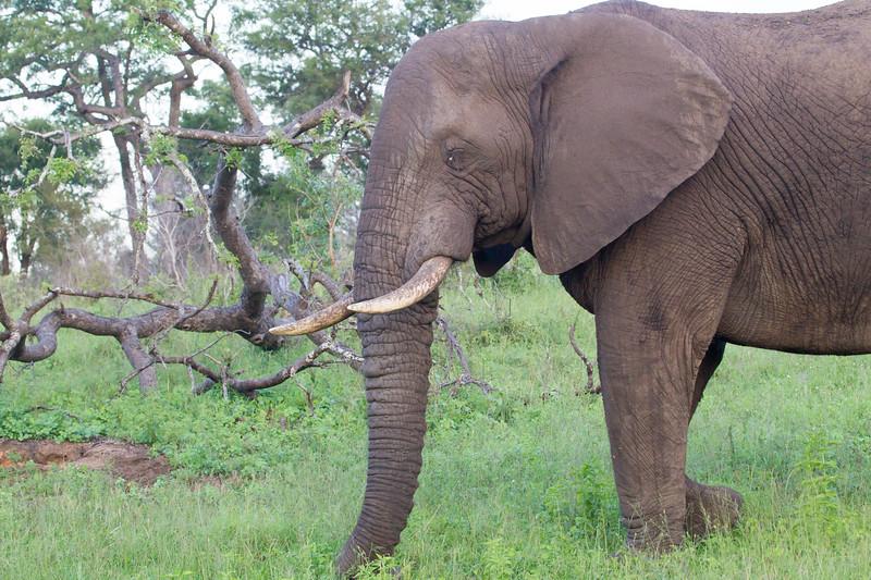 Elephant Kirkman_14-03-15__O6B2149
